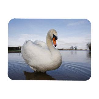 Mute Swan (Cygnus olor) on flooded field, Magnet