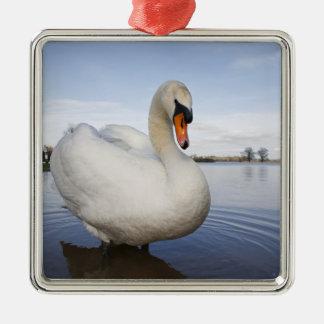 Mute Swan (Cygnus olor) on flooded field, Metal Ornament