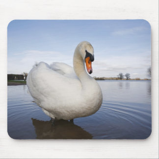 Mute Swan (Cygnus olor) on flooded field, Mouse Pad