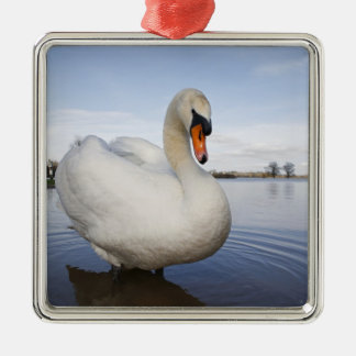 Mute Swan (Cygnus olor) on flooded field, Christmas Tree Ornament