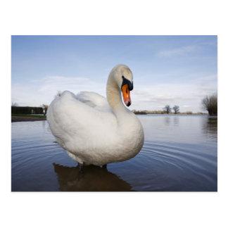 Mute Swan (Cygnus olor) on flooded field, Postcard