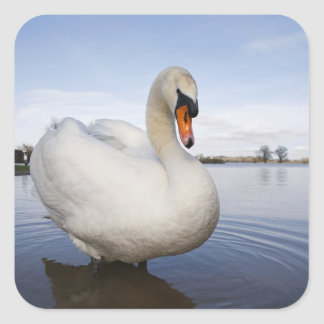 Mute Swan (Cygnus olor) on flooded field, Square Stickers