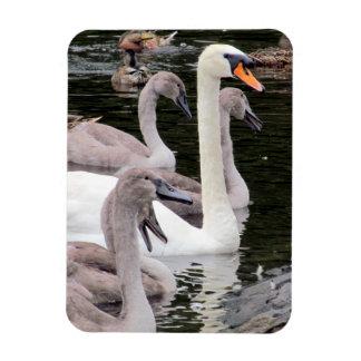 Mute Swan Family Magnet