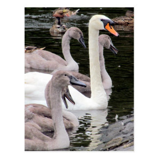 Mute Swan Family Post Card