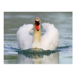 Mute swan in the pond postcard