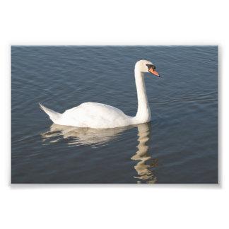 Mute Swan Photo Art