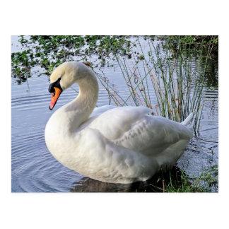 Mute Swan Post Cards