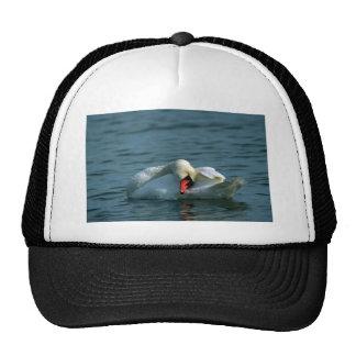 Mute Swan, preening Hat