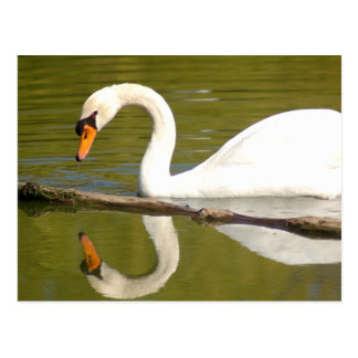 Mute Swan Reflected Postcard