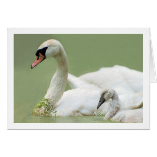 Mute Swan with Cygnet - Wildlife Photography Card