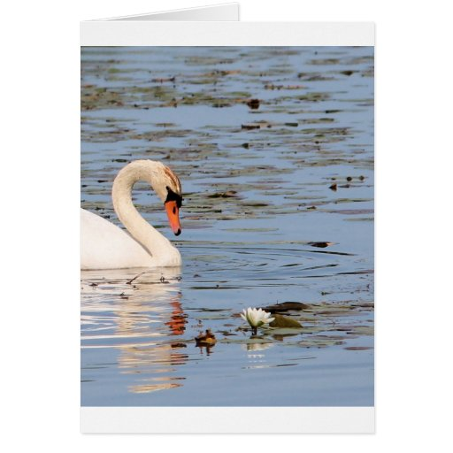 Mute Swan with lilly pad Greeting Cards