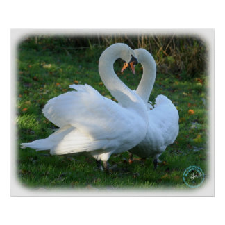 Mute Swans 9Y098D-012 Poster
