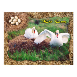 Mute swans guarding nest Maryland Postcard