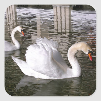 Mute swans on water square sticker