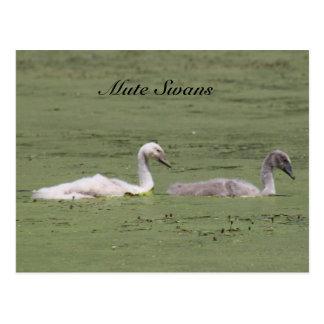 Mute Swans Postcard