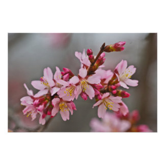Muted Pink Japanese Cherry Blossoms Poster