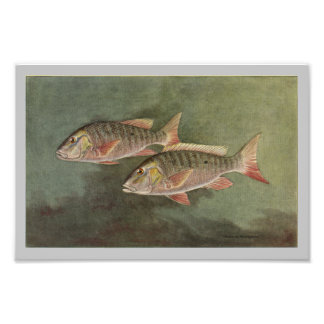 Mutton Fish Vintage Fish Print Photo Print