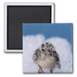 muw gull chick, Larus canus, on iceberg at 2 Inch Square Magnet