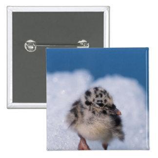 muw gull chick, Larus canus, on iceberg at Button