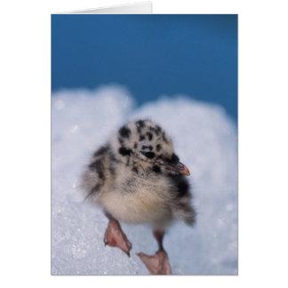 muw gull chick, Larus canus, on iceberg at Card