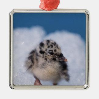 muw gull chick, Larus canus, on iceberg at Metal Ornament