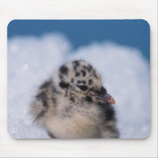 muw gull chick, Larus canus, on iceberg at Mouse Pad
