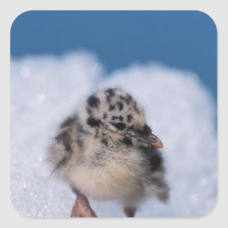 muw gull chick, Larus canus, on iceberg at Square Sticker