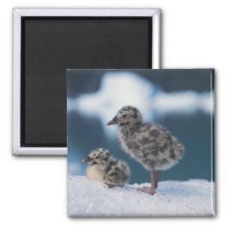 muw gull chicks, Larus canus, on an iceberg at 2 2 Inch Square Magnet