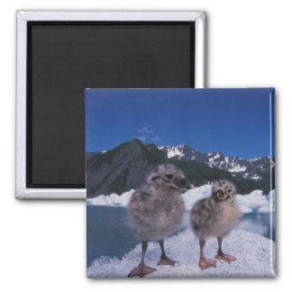 muw gull chicks, Larus canus, on an iceberg at 2 Inch Square Magnet