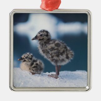 muw gull chicks, Larus canus, on an iceberg at 2 Christmas Tree Ornament