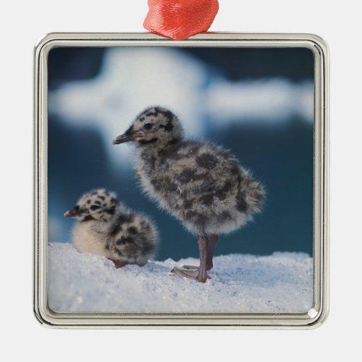 muw gull chicks, Larus canus, on an iceberg at 2 Square Metal Christmas Ornament
