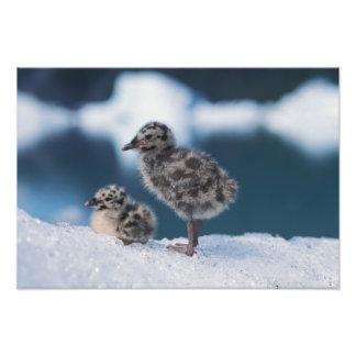 muw gull chicks, Larus canus, on an iceberg at 2 Photo Print