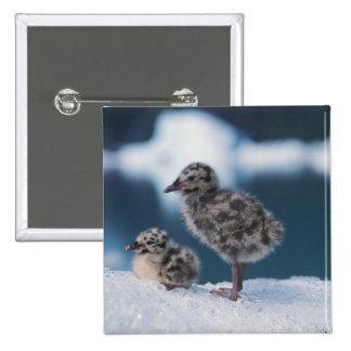 muw gull chicks, Larus canus, on an iceberg at 2 Pinback Button