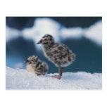 muw gull chicks, Larus canus, on an iceberg at 2 Postcard