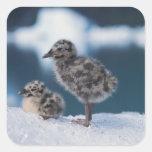 muw gull chicks, Larus canus, on an iceberg at 2 Square Sticker