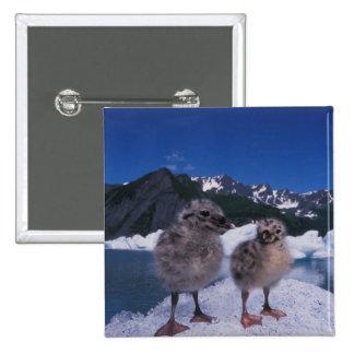 muw gull chicks, Larus canus, on an iceberg at Button