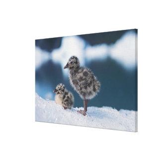 muw gull chicks, Larus canus, on an iceberg at Canvas Print