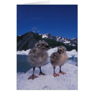 muw gull chicks, Larus canus, on an iceberg at Card