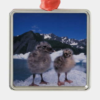 muw gull chicks, Larus canus, on an iceberg at Metal Ornament