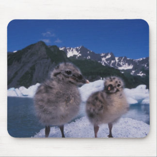 muw gull chicks, Larus canus, on an iceberg at Mouse Pad