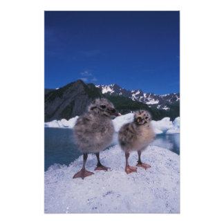 muw gull chicks, Larus canus, on an iceberg at Photo Print