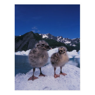 muw gull chicks, Larus canus, on an iceberg at Postcard