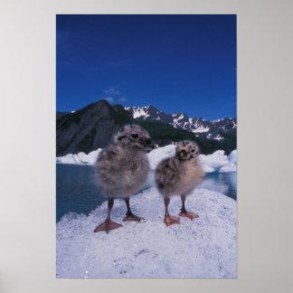 muw gull chicks, Larus canus, on an iceberg at Poster
