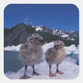 muw gull chicks, Larus canus, on an iceberg at Square Sticker