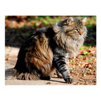 My Acorn Maine Coon Cat Postcard