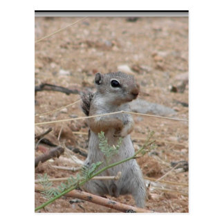My Backyard Ground Squirrel Postcard