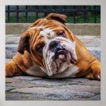 My Grumpy Dog is Saying Bulldog !!! Poster