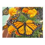 My Monarch Butterflies-postcard