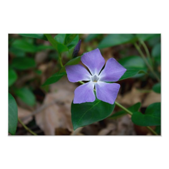 My Mother's Violet - Photographic Print