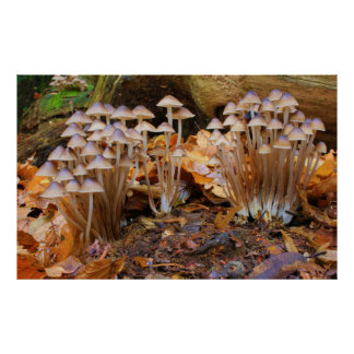 Mycena Inclinata Clustered Bonnet Mushroom Fungi Print